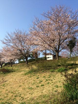公津公園 桜2
