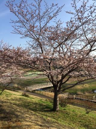 公津公園 桜4