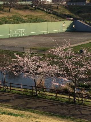 公津公園 桜3